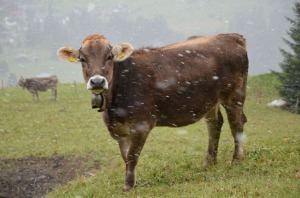 Snow starts to fall while the cattle wonder when they will be taken to their stables