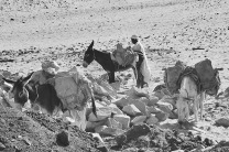 Some modern sandstone quarries at West Aswan are small, artisan-type quarries, where the donkey is still the most important mode of transport. This is the way transportation of grinding stone from the ancient quarries in the area would have been undertaken. Photo: Per Storemyr