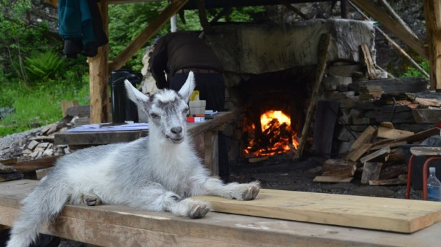 The limeburner goat. Our mascot! Thanks, Oddvin, for such a delightful companion through days of hard work!
