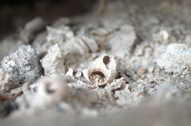 For å bygge Kinn kirke brant man skjell til bruk i mørtel i middelalderen. Her fra en fuge der mørtelen har skjellsand i tilslaget. Foto: Per Storemyr